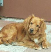 Pino Hundeopi sucht zu Hause