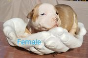 American Pocket Bully Welpen