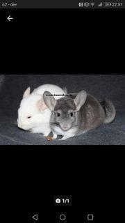 zauberhaftes Chinchilla Paar