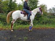 Paint-Horse -Stute -