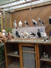 Takla Bakiner und usbekische Tauben
