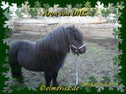 Deckanzeige Shetlandhengst Aron von DHK