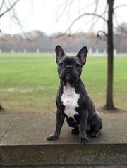 Deckrüde Coco Französische Bulldogge blau