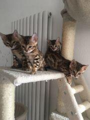 Reinrassige Bengal-Kitten*