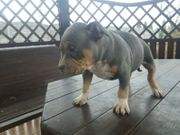 American Bully Pocket ABKC Papiere