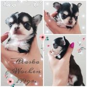 Chihuahuas mit Ahnentafel mini Husky