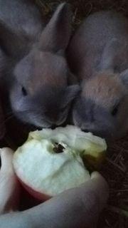 Zwergkaninchen Kaninchen Rex,