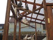 Usbekische vogel und posttauben
