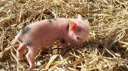 Minischweine, Ferkel, Göttinger
