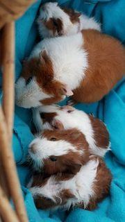 Süße Baby Meerschweinchen böcke