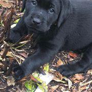 Reinrassiger Labrador Welpen