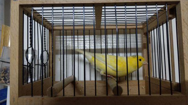 Kanarienvogel Harzer Roller