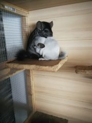 Chinchillas mit Stall