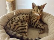 Savannah Kitten F3 suchen noch