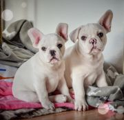 French Bulldog - cream