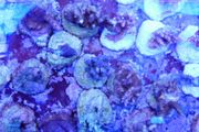 Meerwasser Ableger SPS