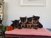 Biewer Zwerg-Yorkshire Terrier Babys Pap