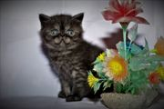 Exotic Shorthair Kitten (