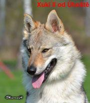 Tschechoslowakische Wolfshund, FCI