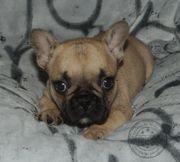 Französische Bulldoggen Welpen in Fawn