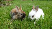 Zwergkaninchen Rex Dalmantiner Japaner Kaninchen