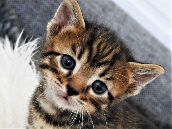 bengal kitten in warendorf katzen kaufen und verkaufen. Black Bedroom Furniture Sets. Home Design Ideas