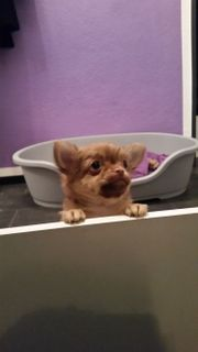 Chihuahua Welpe sucht