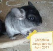 Chinchilla Kind sucht