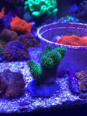 Meerwasser Stylophora