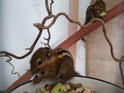 3 Baumstreifenhörnchen abzugeben