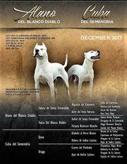 Dogo Argentino Welpen