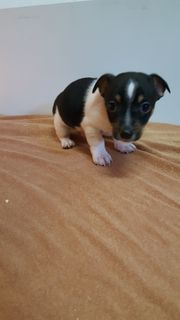 Jack Russell Mischlings -