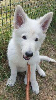 Weißer Schäferhund Rüde