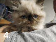 Ragdoll Perser Mix Kitten Katze