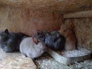 Neuer Nachwuchs ist da Zwerg-Kaninchen