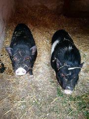 Mini Schweine Pärchen