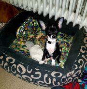 Chihuahua 2 schwarze Buben sehr