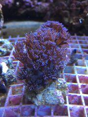 Meerwasser: Korallen Ableger