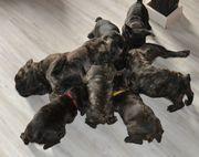 Welpen Französiche Bulldoge