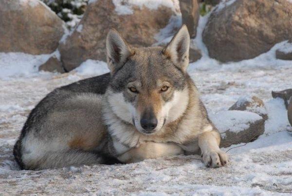 Tschechoslowakischer Wolfshund Welpen