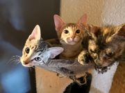 Bengal-Sphynx Mix Kitten