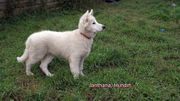 Weisse Schäferhund-Welpen