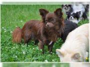 Chihuahua Welpen und