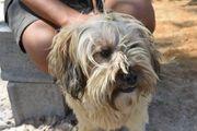 Fidalgo Tibet Terrier Mix sucht