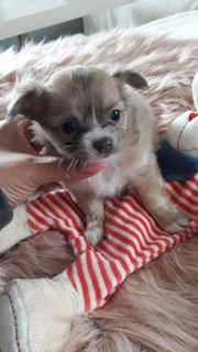 Reinrassige Mini Chihuahua Babys