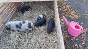 Minni Schweine