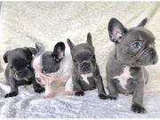Unsere Französische Bulldogge Welpen mit