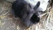 Löwenkopf Zwerg Kaninchen
