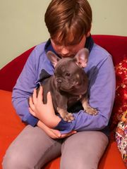 Französischer Bulldogge