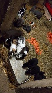 Kaninchen, Meerschweinchen, Hasen,